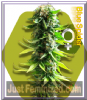 Zambeza Blue Spider Female 5 Marijuana Seeds